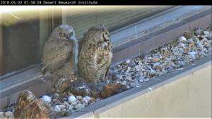 【実況 Live】野生ふくろうの巣ごもり- Owl Cam – 終了